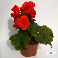 ФлоИрен, оптовая продажа рассады и горшечных цветов - фото 5