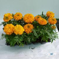 ФлоИрен, оптовая продажа рассады и горшечных цветов - фото 6