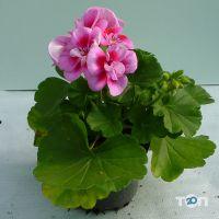 ФлоИрен, оптовая продажа рассады и горшечных цветов - фото 8